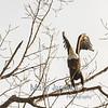 Bald Eagle Lifting Off
