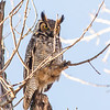 Great Horned Owl at  Brookside Park in Ames, Iowa  This owl is part of a mating pair that nests in the woods in Brookside Park.