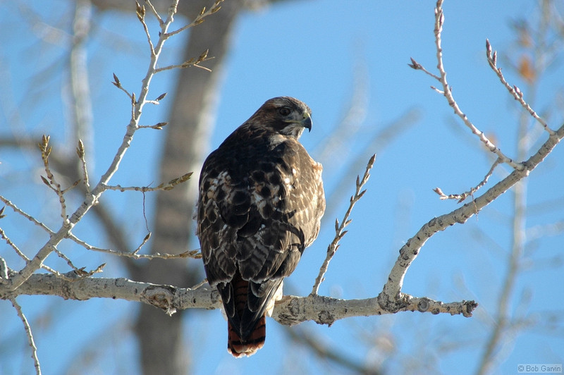 Red Tailed Hawk<br /> Boulder County, Colorado