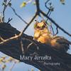 Great Horned Owlet in Iowa