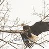 Perching Eagle