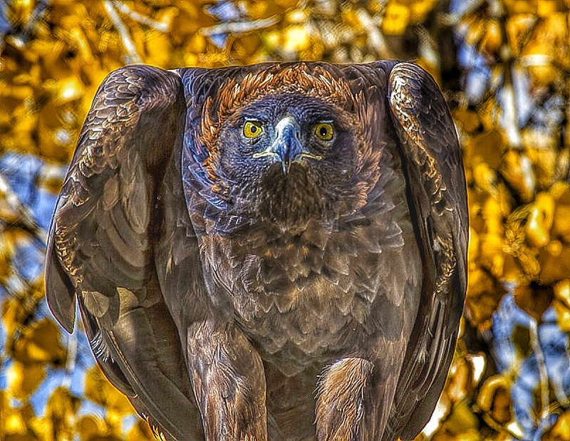 This Golden Eagle is living out his life in a raptor rescue center following a crippling injury, Boulder, Colorado.