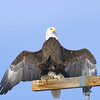 American Bald Eagle<br /> Weld County, Colorado