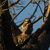 Great Horned Owlet in Iowa
