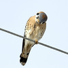 American Kestrel<br /> Weld County, Colorado