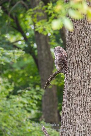 Barred Owl in Ames, Iowa