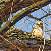 This Great Horned Owl baby was around 2 months old in this photograph taken at Brookside Park in Ames, Iowa.