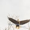 Bald Eagle Close-Up