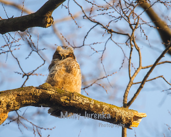 2016 Great Horned Owlets-Brookside Park  in Ames, Iowa