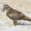 Red Tailed Hawk<br /> Boulder County, Colorado<br /> #42