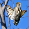 Great Horned Owl, Diving from Tree<br /> Boulder County, Colorado<br /> Sawhill Ponds