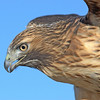 Red Tailed Hawk<br /> Boulder County, Colorado