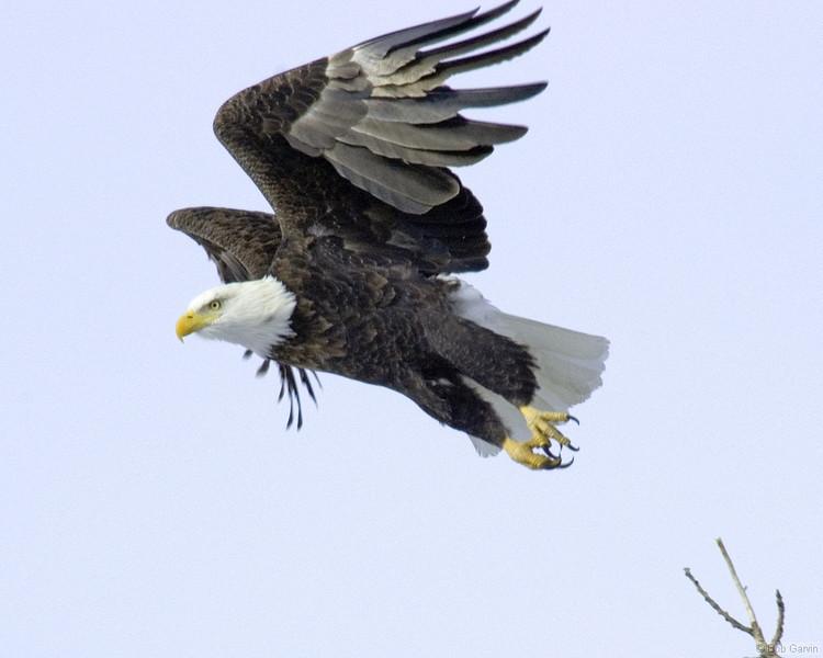 Bald Eagle<br /> Boulder County, Colorado<br /> N. 63rd Street<br /> #9