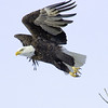 Bald Eagle<br /> Boulder County, Colorado<br /> N. 63rd Street<br /> #9