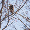 Immature Bald Eagle at Red Rock Dam