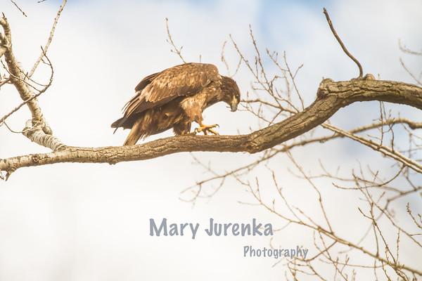 Raptors by Mary Jurenka Photography