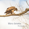 Raptors by Mary Jurenka Photography