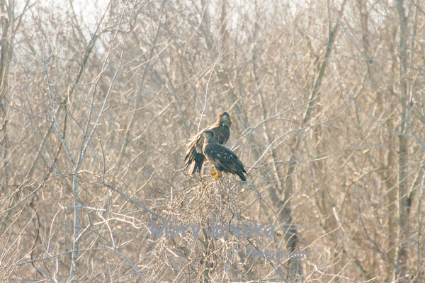 Bald Eagles Wintering in Iowa