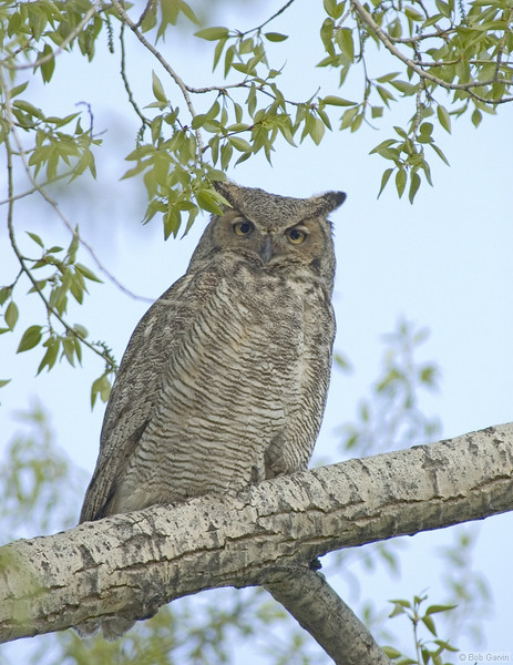 Great Horned Owl<br /> Boulder County, Colorado<br /> Sawhill Ponds