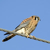 American Kestrel<br /> Boulder County, Colorado