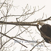 Bald eagle at Red Rock Dam