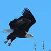 Bald Eagle<br /> Boulder County, Colorado