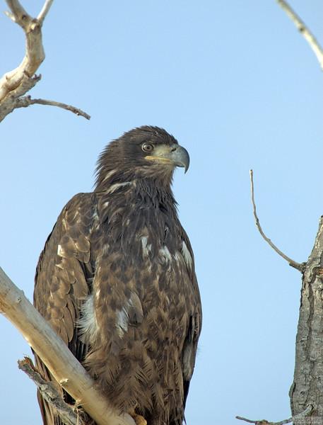 Golden Eagle,<br /> Boulder County, Colorado<br /> North 63rd Street<br /> #8