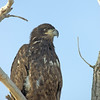 Golden Eagle,<br /> Boulder County, Colorado<br /> North 63rd Street<br /> #8