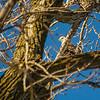 Red Rock Dam bald eagle