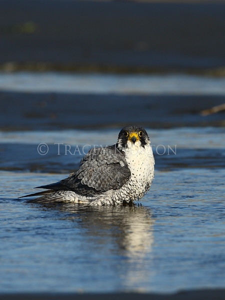 Peale's Peregrine Falcon (Falco peregrinus pealei)