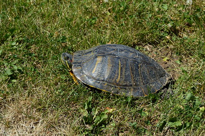 Red Eared Slider Turtle - IL