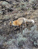 Red Fox (Vulpes vulpes) : ALL IMAGES IN THIS GALLERY ARE COPYRIGHTED, ©Becca Wood - B. Wood Photography.
