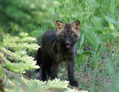 Red Fox 27