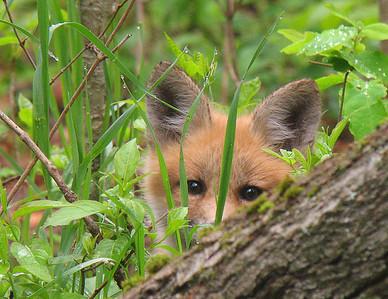 Red Fox 29