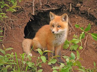 Red Fox 30