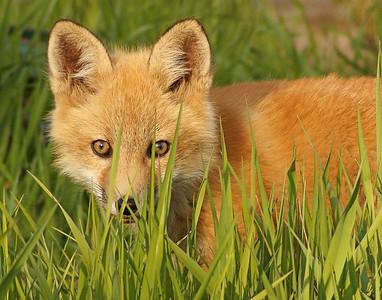 Red Fox 22