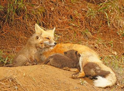 Red Fox 17