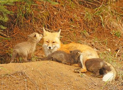 Red Fox 18