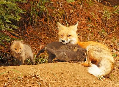 Red Fox 15