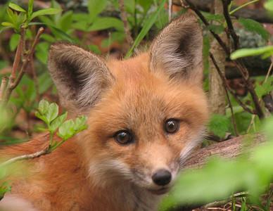 Red Fox 26