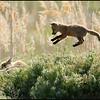 Red Fox :