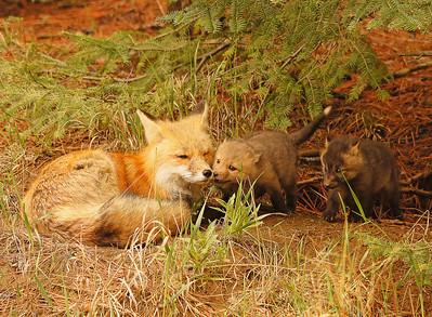 Red Fox 19