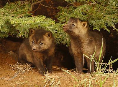 Red Fox 21