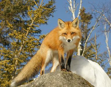 Red Fox 11