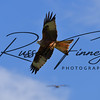 Red Kite russellfinneyphotography (112)