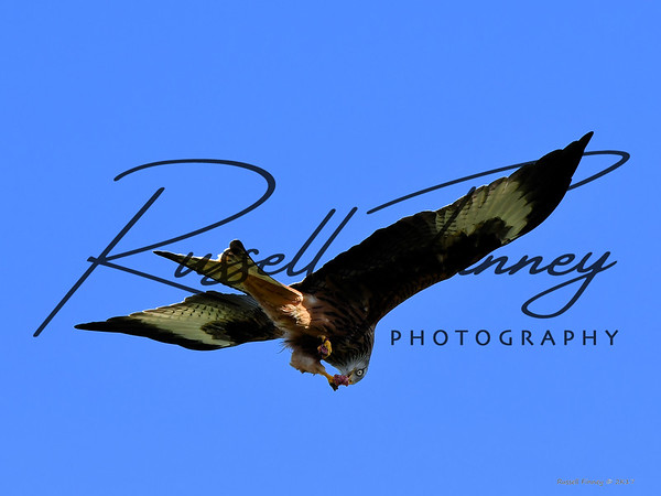 Red Kite russellfinneyphotography (54)