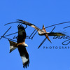 Red Kite russellfinneyphotography (84)