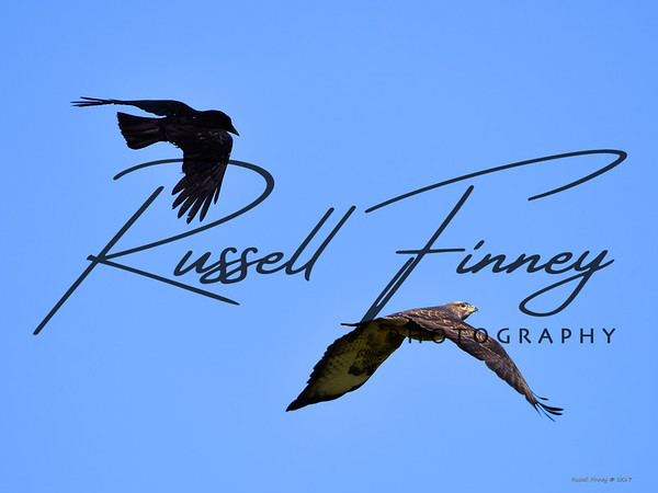 Red Kite russellfinneyphotography (35)