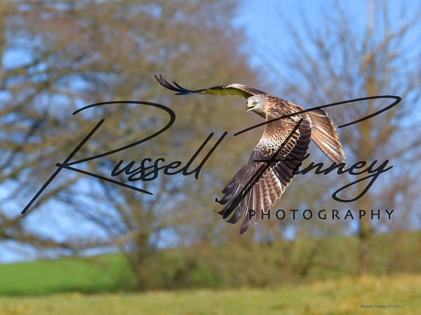 Red Kite russellfinneyphotography (144)