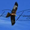 Red Kite russellfinneyphotography (78)